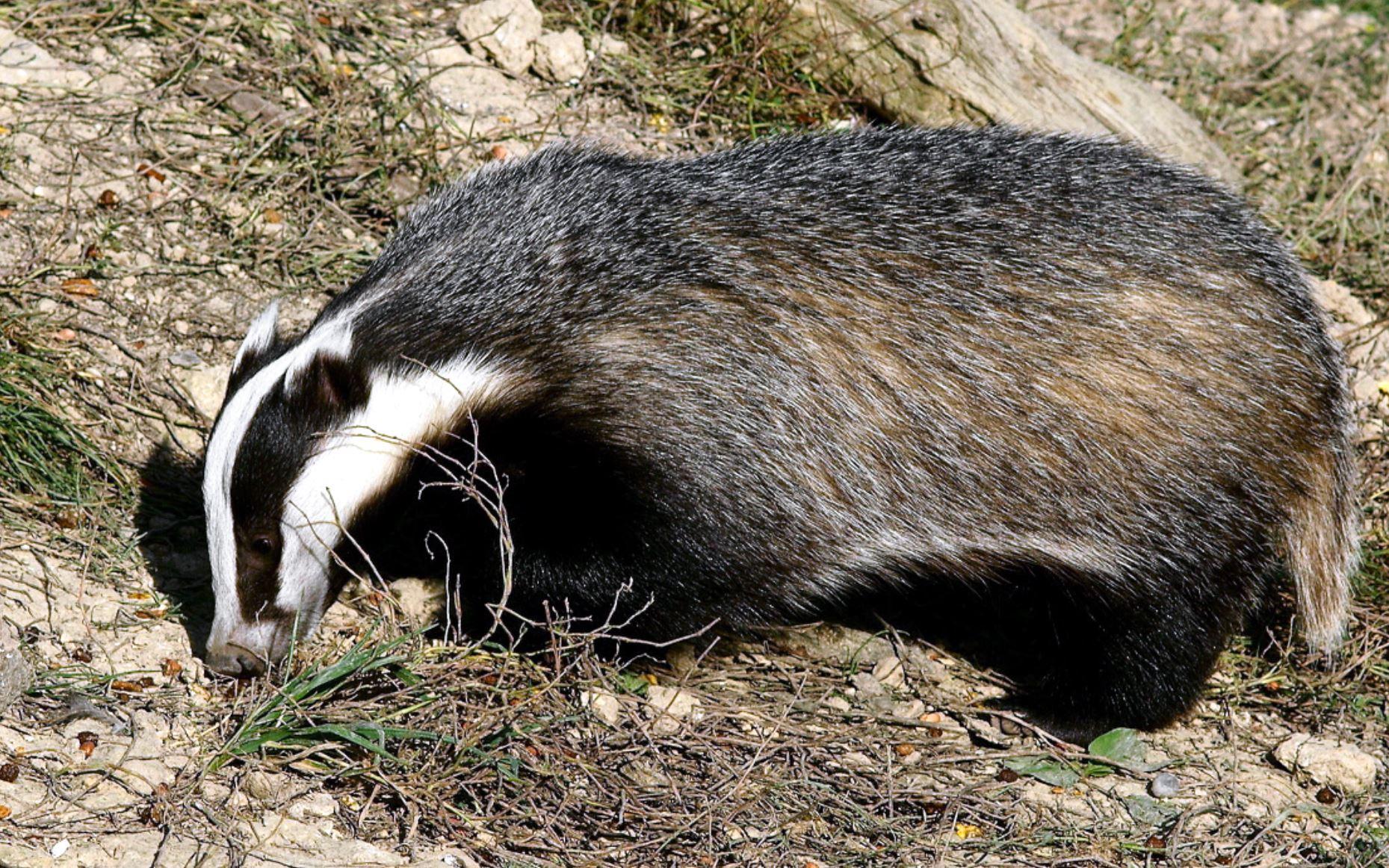blaireau; badger