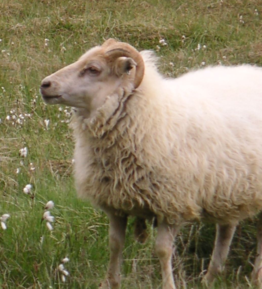 icelandic sheep mouton islandais poil fur flytying fly tying mouche streamer eclosion