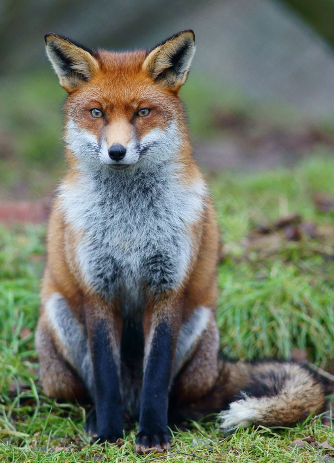 renard roux fox poil fur flytying fly tying mouche streamer eclosion