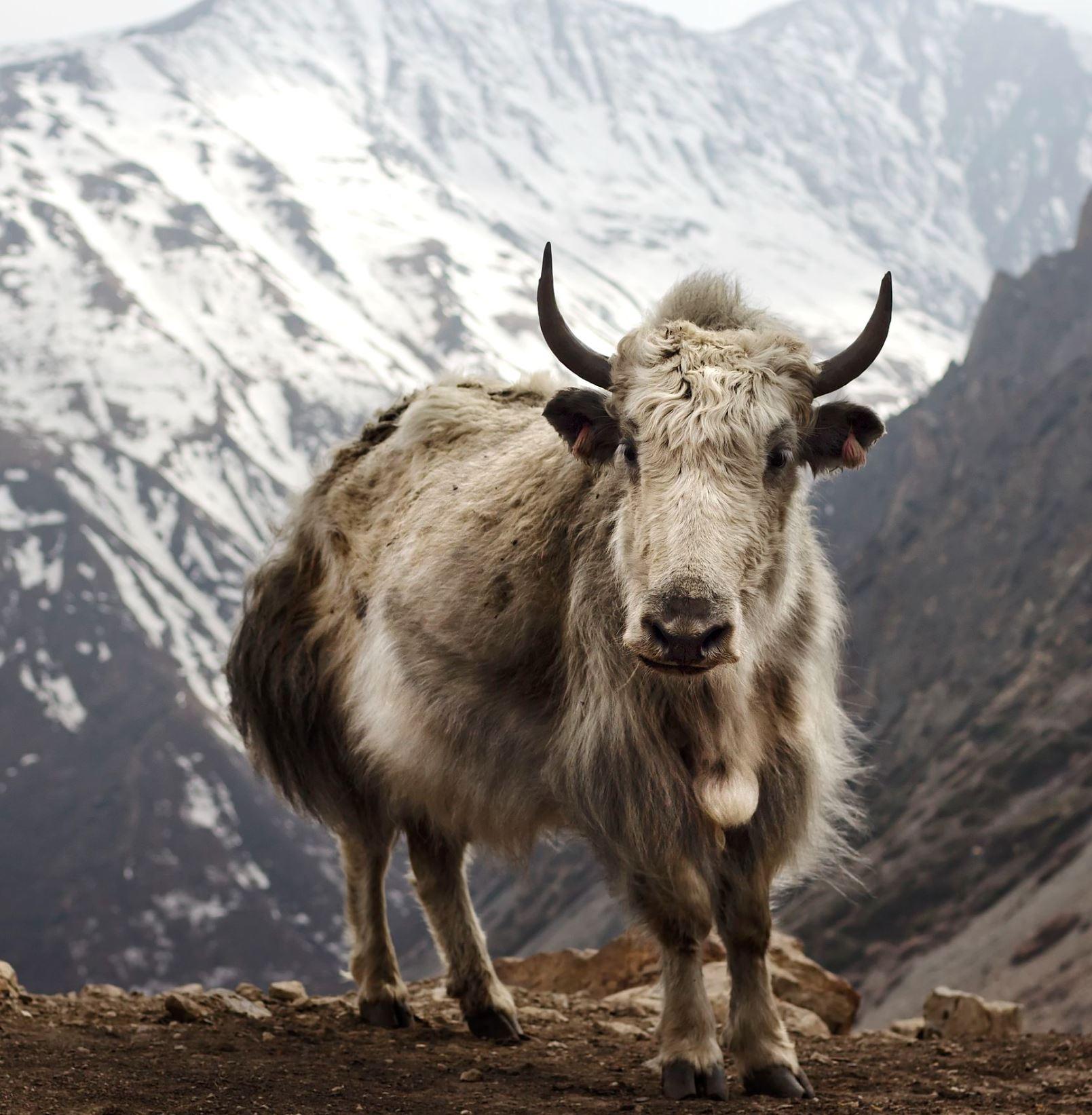 yack yak poil fur flytying fly tying mouche streamer eclosion